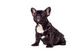 French bully bulldog on white background Royalty Free Stock Photo