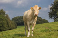 French cow Blonde d Aquitaine in a dutch landscape Royalty Free Stock Photo