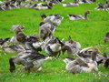 French geese, Tursac (France ) Stock Image