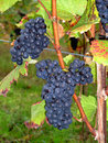 French grapes Pinot noir in Alsace Royalty Free Stock Photos
