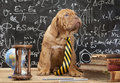 French mastiff puppy in front of blackboard young cute during a math class dogue de bordeaux Stock Photo