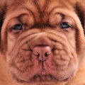 French Mastiff puppy muzzle Stock Image