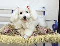 French poodle on pillow Stock Image
