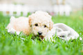 French poodle puppy a playing with clothes on the grass Royalty Free Stock Photos