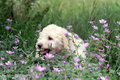 French poodle puppy sits hidden in the flowers Royalty Free Stock Images