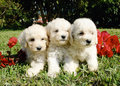 French poodles Stock Photos