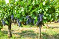 French red AOC wine grapes plant, new harvest of wine grape in Royalty Free Stock Photo