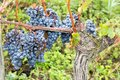 French red wine grapes plant growing harvest of wine grape chateau vineyard close up Bordeaux in France Royalty Free Stock Photo
