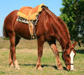 French Saddle Horse Royalty Free Stock Photography
