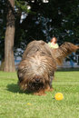 French shepherd briard, ball plaing Royalty Free Stock Image