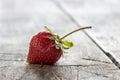 Fresco apenas escogido fresas Foto de archivo libre de regalías