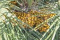 Fresh acai berries palm fruit tree close-up. Ripe areca nut palm Royalty Free Stock Photo