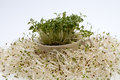 Fresh alfalfa sprouts and cress Stock Image
