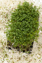 Fresh alfalfa sprouts and cress Royalty Free Stock Photos