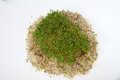 Fresh alfalfa sprouts and cress on white background Stock Photo