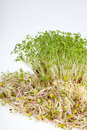 Fresh alfalfa sprouts and cress on white background Stock Images