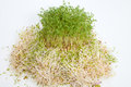 Fresh alfalfa sprouts and cress on white background Stock Image