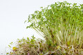 Fresh alfalfa sprouts and cress on white background Stock Photography
