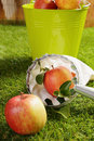Fresh apple in a picker net lying on green grass with a second apple and bucket full alongside during the harvesting of the autumn Stock Image