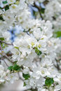 Fresh apple tree branch in spring bloom with pink-whitish soft flowers Royalty Free Stock Photo