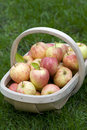 Fresh apples in a wooden trug Stock Photo