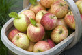 Fresh apples in a wooden trug Stock Image