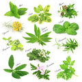 Fresh aromatic herbs collection of Royalty Free Stock Photo