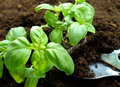 Fresh baby basil Royalty Free Stock Photo