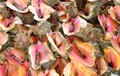 Fresh bahamian conch in shell bunch of the on a fisherman s truck Stock Photos