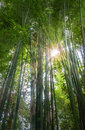 Fresh bamboo forest spring with glorious morning sunshine Stock Photo