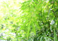 Fresh bamboo leaves border green plant stalk at summer in the garden Stock Photos