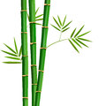 Fresh bamboo tree and leaves isolated on white