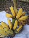 Fresh banana bunches from garden photo Royalty Free Stock Photo
