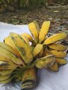 Fresh banana bunches on white cloth photo Royalty Free Stock Photo