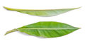 Fresh banana leaves on a white background Stock Photos