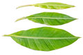Fresh banana leaves on a white background Stock Photography