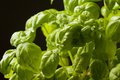 Fresh basil herbs closeup Royalty Free Stock Photography