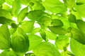 Fresh Basil Leaves close-up background Royalty Free Stock Photo