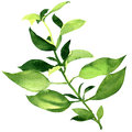 Fresh basil leaves isolated Royalty Free Stock Photo