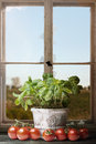 Fresh Basil with Tomatoes before an old broken Window Royalty Free Stock Photo