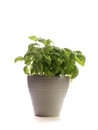 Fresh basil on white a background Stock Image