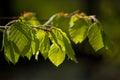 Fresh Beech Leaves In The Spri...