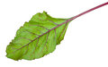 Fresh beet root leaf Stock Images