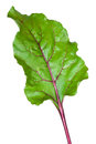 Fresh beet root leaf Royalty Free Stock Photography