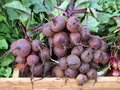 Fresh Beetroot, Greek Street Market Royalty Free Stock Photo