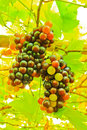 Fresh black grapes on tree Royalty Free Stock Photos