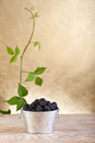 Fresh blackberries in a bucket on old table Stock Photo