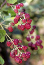 Fresh blackberries in a garden pink growing on green branch Royalty Free Stock Images