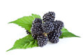 Fresh blackberry with leaves Stock Image