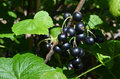 Fresh blackcurrant in the summer garden Royalty Free Stock Photos